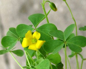 Raw food foraging sour grass thriving minimalist 6hcommonyellowoxalis mightylinksfo